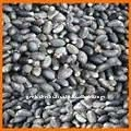 High Yielding Jatropha seeds