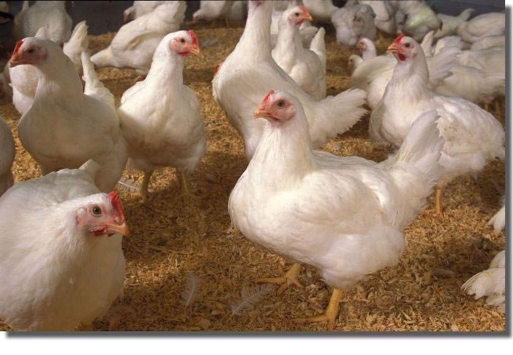 http://i01.i.aliimg.com/photo/v1/123953055/Broiler_live_chickens.jpg