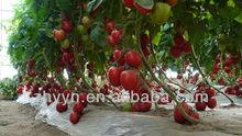 Napu No.2 indeterminate tomato seeds
