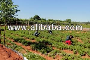 Steviolglycosid 95% purezza, piantagione biologica, paraguay