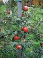 Nouveau 2011 100% huile essentielle pure huile de pépins de pomme