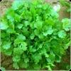 Coriander Evergrow Seeds