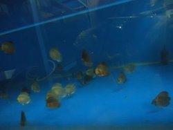Discus Fish In India