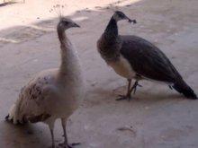 Peacocks & Other Fancy Birds
