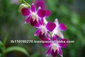Dendrobium Sonia Earsakul, plantas de la orquídea