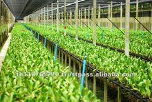 BB Orchid Nursery, Cattleya seedling Farm