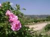 Rose De Mai Oil (Rosa Centifolia)