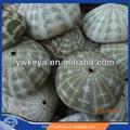 Tamanho grande Natural 11 - 13 cm ouriço do mar em presentes e artesanato