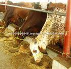 Live cows