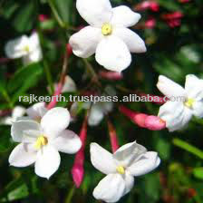 Jasmine Grandiflorum Oil Absolute