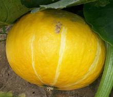 Planting hybrid pumpkin seeds