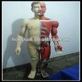 hot vendas 170cm muscular humano corpo com os órgãos intenal
