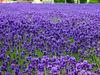 Herb Lavender Lavandula angustifolia spica Blue Purple Garden Flower Herbs Seeds A005