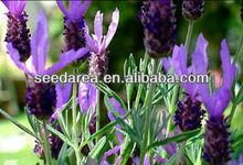 Heirloom Lavender Herb Garden Blue France Lavandula Stoechas Purple Organic Flower Bulk Seeds A002