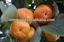cimelio organico semi sfusi asiatico cachi albero semi arancione frutta enorme f17 dolce