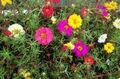 cimelio di portulaca dom portulaca rosa muschio amaranto misto giardino fiorito semi sfusi b0115