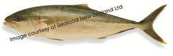 Sashimi Grade New Zealand Kingfish