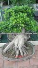 Banyan Bonsai tree Available...