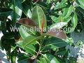 اللبخ المرنة، شجرة المطاط، المطاط الهند fig