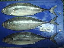 Frozen Horse Mackerel fish, Size 4/6