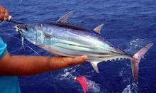 Yellow Fin Tuna whole
