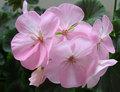 Da herança RARE sementes gerânio ' Maverick Appleblossom ' Pelargonium sementes de flores em massa
