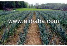 Garlic our (Garlic farmland)
