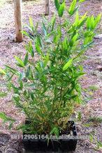 Bamboo mini clumps