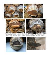Phellinus mushroom in bag for sale as raw material