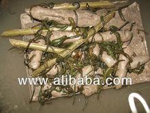 Hirudo Orientalis Leeches