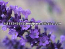 Lavender Oil Price