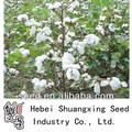 folhas verdes de melhores sementes de algodão