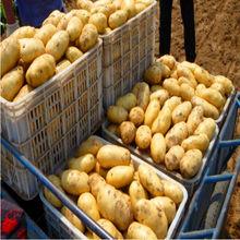 potato export