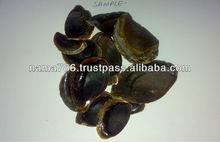 Black Color Operculum Shell