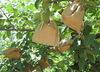 paper bag fuji apple protection