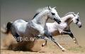 atacado moda 3d lenticular imprime imagem do cavalo de corrida