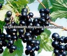 Black Currant Seed Oil