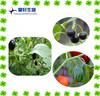 Belladonna Fruit Extract Hyoscyamine 1%
