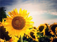Large sunflower image lenticular 3d painting