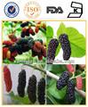 medicina de la hierba extracto de la planta de hoja de morera y extracto de morera extracto de fruta