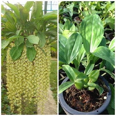 Orquidea Coelogyne Rochussenii Coelogyne Rochussenii en