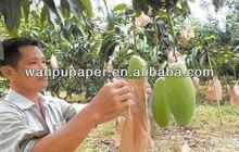 Fruit Mango growing bag