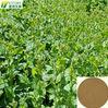 Tartary Buckwheat Extract/Buckwheat Seed