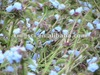High quality cyanotis arachnoidea extract used in sericulture