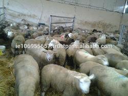 Halal Lamb