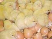 HATCHING EGG, BROILER CHICKEN COBB500 BREED