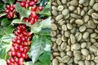 ROASTED ROBUSTA COFFEE BEANS (Mobiphone: +84.976.453.736; Skype: Sale.vietgo)