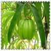 Garcinia Cambogia Powder p.e. weight loss powder for sale