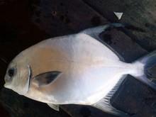 Fresh Longfin Pompano