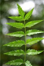 GMP & ISO Approved Neem Oil/Neem Essential Oil